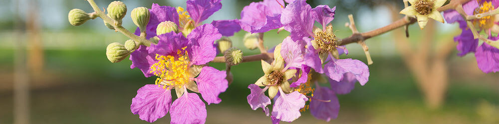 Banaba: Health Benefits, Uses, Side Effects, Dosage
