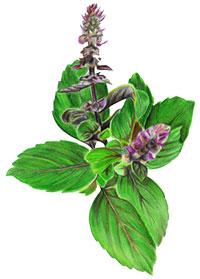 Holy basil Leaf