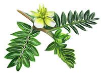 Tribulus Terrestris (Fruit)