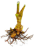 Cohosh Root