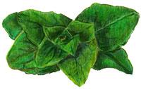 oregano-leaf