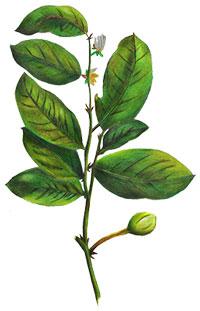 Pygeum Africanum