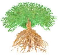 Shatavari(Asparagus Racemosus)
