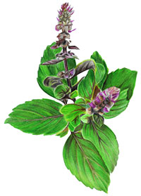 Holy basil Leaf